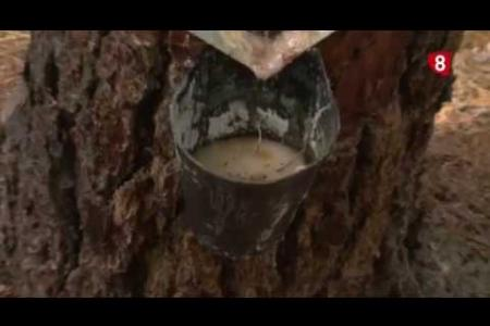 Embedded thumbnail for Reportaje del Canal 8 dedicado a la resinación y al proyecto SustForest Plus